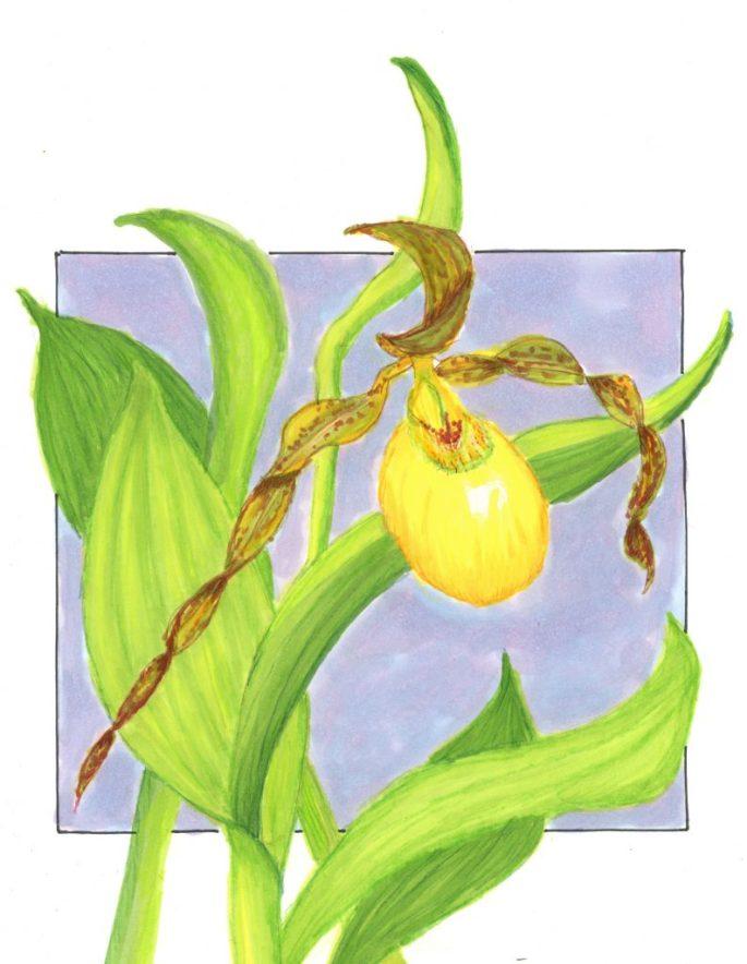 Lady-Slipper-Illustration-793x1024