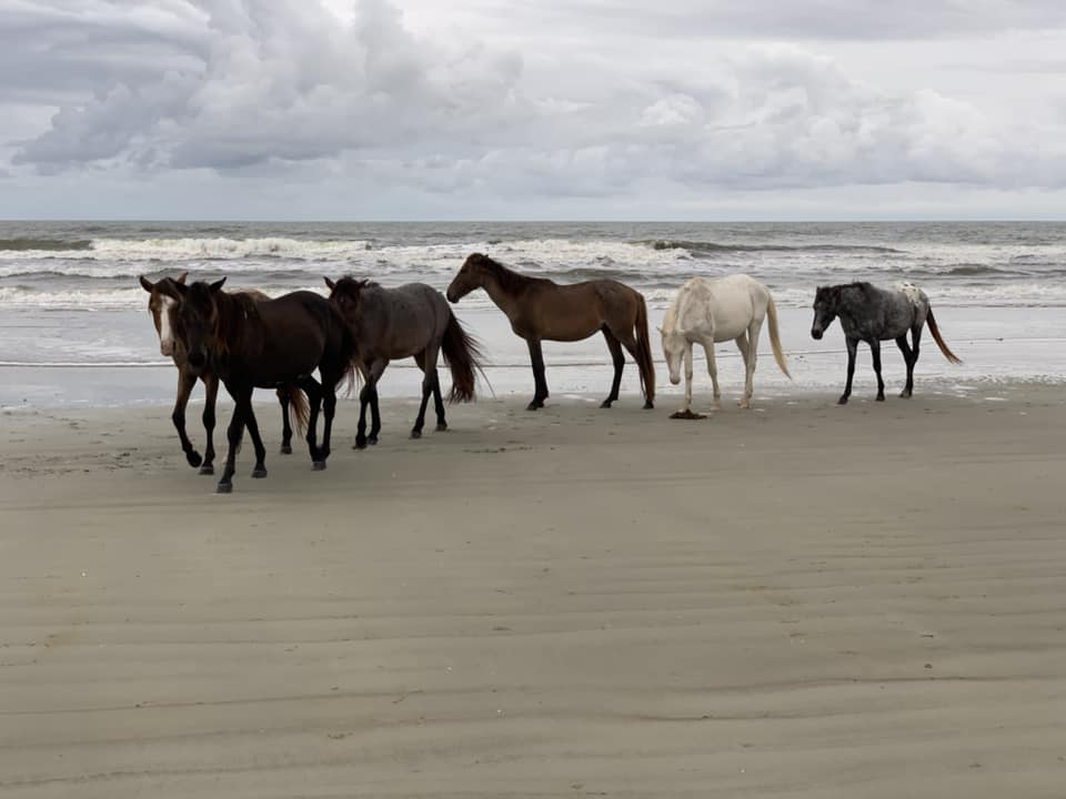 Wild Horses Wandering Throughout Cumberland Island, Georgia | Dr. David S. Chen